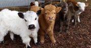 خواص و مضرات و طبع گوشت گوساله در بارداری و برای نوزاد