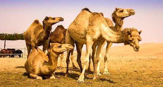 گوشت شتر , گوشت شتر برای زنان باردار , گوشت شتر در بارداری , گوشت شتر برای زن حامله , گوشت شتر برای زن باردار