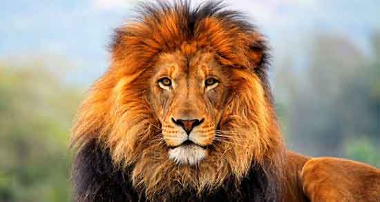 شعر در مورد شیر جنگل ؛ و سلطان کودکانه و متن زیبا و جملات سنگین درباره شیر