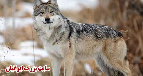 شعر در مورد گرگ ؛ متن و غزل و شعر کودکانه در مورد گرگ صفتان