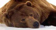 تعبیر خواب خرس قهوه ای
